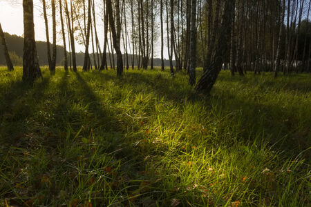 straggly: wallpaper of sunrise in thin birch forest, late summer Stock Photo