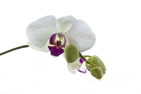 wet fresh white orchid  with drops isolated on white background photo