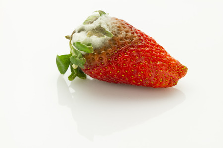 single mildew rotten strawberry isolated on white background