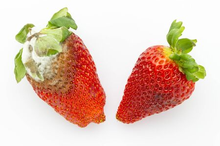comparison if fresh and mildew rotten strawberries isolated on white