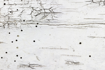 scar: full frame wallpaper of birch bark with scar and woodworm hole