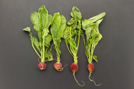 wilted: old wilted bunch of radish lazing on scratch grunge black background