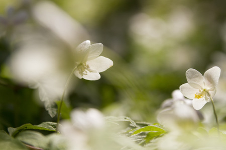 windflower: wallpaper of close up of white windflower with selective focus and shallow DOF Stock Photo