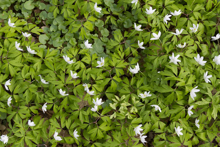 windflower: top view of carpet of white windflower background Stock Photo