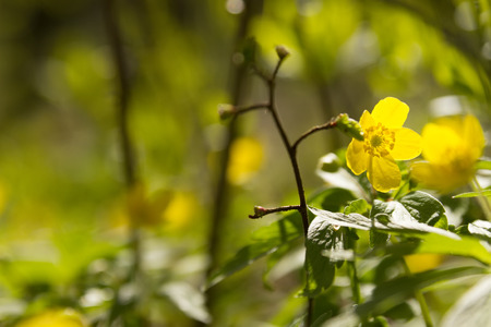 windflower: wallpaper of close up of yellow windflower with selective focus and shallow DOF