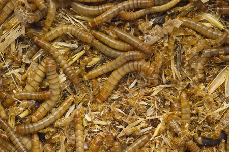 mealworm: full frame background of larva worms mixing with dirt and bran Stock Photo