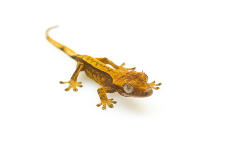 macro of young small brown gecko isolated on white background with selective focus photo