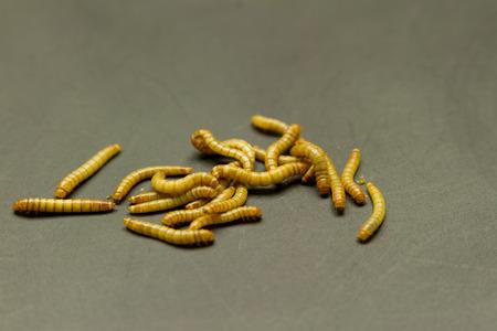 abomination: group of mealworm larva on black grunge background Stock Photo