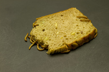 mealworm: group of mealworm larva on black grunge background eating bread Stock Photo