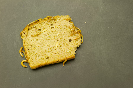 abomination: group of mealworm larva on black grunge background eating bread Stock Photo