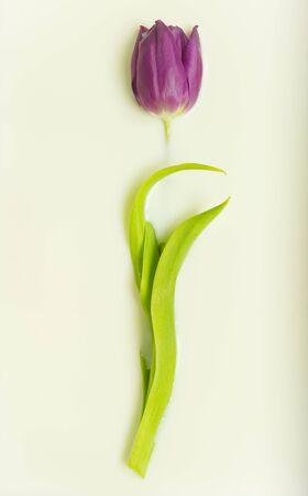 immersed: single purple tulip immersed in creamy milk wallpaper
