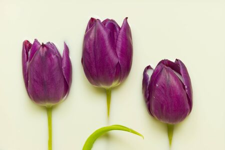 immersed: group of purple tulips immersed in creamy milk wallpaper Stock Photo