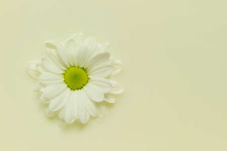 immersed: wallpaper of white daisy immersed in creamy milk