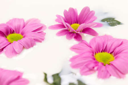 immersed: wallpaper of group of  purple daisies immersed in creamy milk Stock Photo
