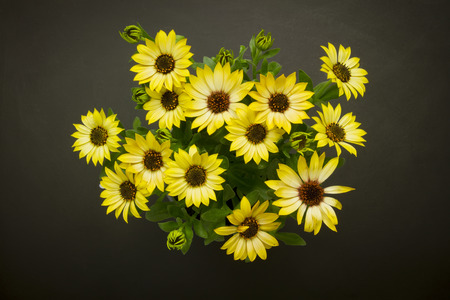 daisy: top view of colorful daisy bunch standing on black grunge background Stock Photo