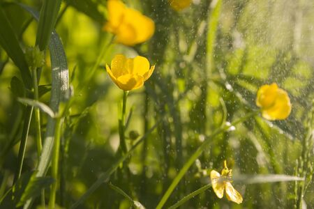 wet wallpaper: green wallpaper of macro  buttercups with wet mist and selective focus and flying water particle