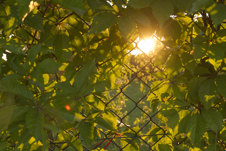 mesh fence: wallpaper of woodbine creeping on metal mesh fence during sunset