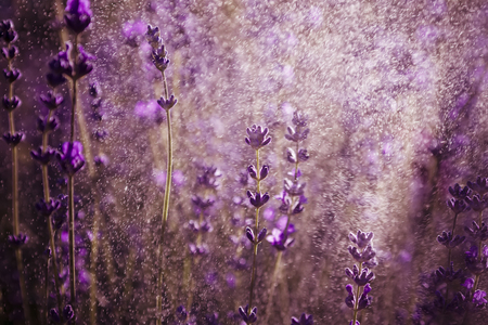 wallpaper of lavender bunch in sunlight and moody style