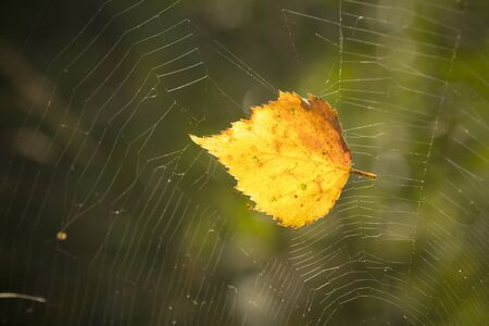 trapped: wallpaper with yellow birch leaf trapped in cobweb