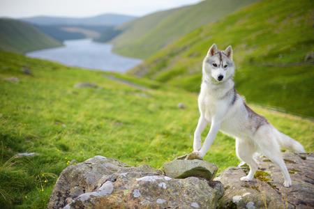 portrait of Siberian Husky dog, Talla, Scotland, UK photo
