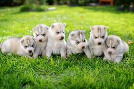 portrait of Siberian Husky puppies photo