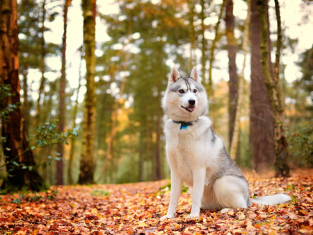 sitt: portrait of Siberian Husky dog in Autumn forest