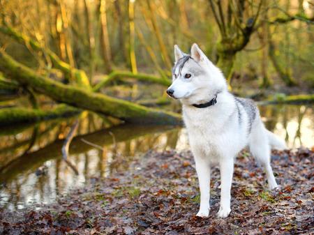 portrait of Siberian Husky photo