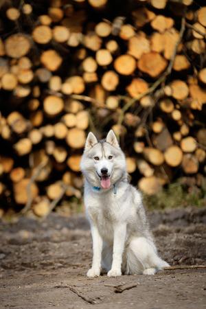 sitt: portrait of female Siberian Husky (Spring forest)