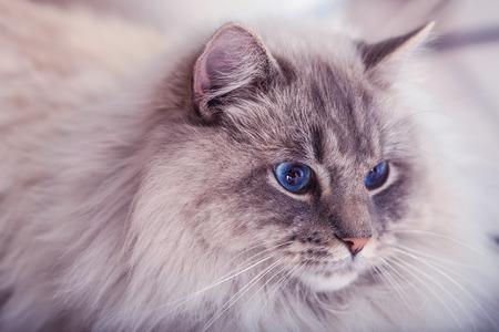ragdoll: Beautiful cat with blue eyes. Stock Photo