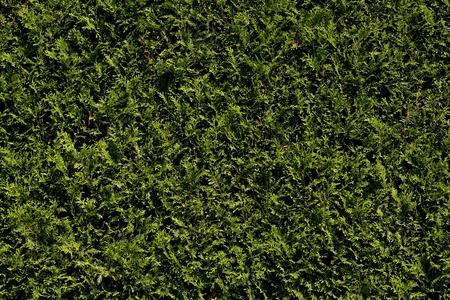 hedge: hedge thuja
