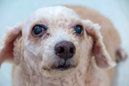 big eye: The face of white old poodle dog with big eye