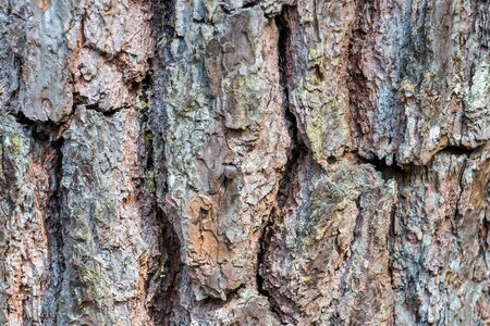 groove: Bark of pine tree with groove and texture