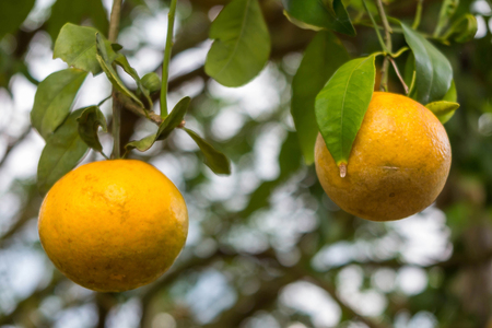 naranjo arbol: Naranjas en los árboles en el jardín de fondo borroso