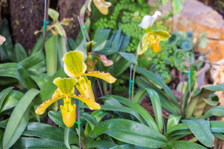 sumatra: tropical pitcher plants, monkey cups in the garden background Stock Photo