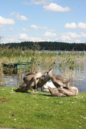Swans and ducks on the shore of the lake photo