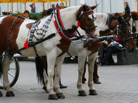 beatiful: Team of beatiful and dignified white and brown horses