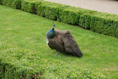 nicety: Beautiful colorful proud peacock walking on the grass Stock Photo