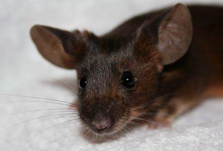 agouti: Agouti Mouse