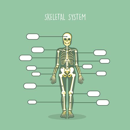 인간의 해부학적인 해골 벡터 세트