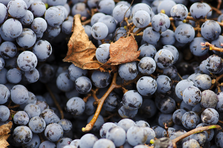 merlot: Merlot clusters and leaf. Selective focus Stock Photo