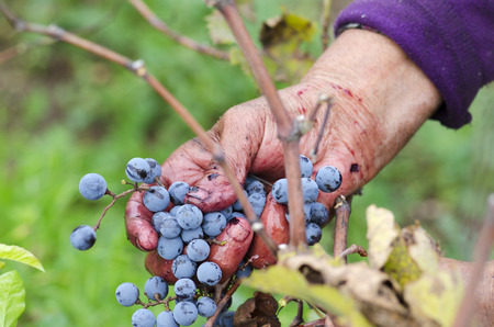 merlot: Vine harvesting in Bulgaria Merlot cluster in womans hand