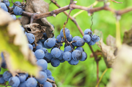 merlot: Clusters of Merlot and leaves in Bulgarian vineyard. Selective focus
