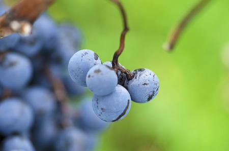 merlot: Merlot grapes in a vine during the vine harvesting in Bulgaria. Selective focus Stock Photo