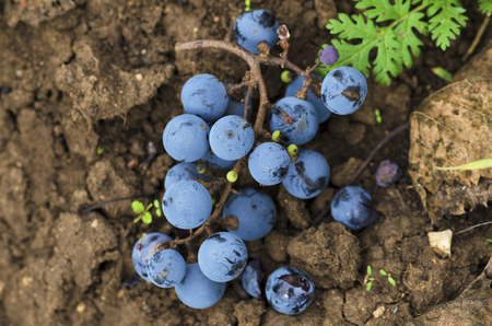 merlot: Merlot clusters on the ground in the vineyard in Bulgaria. Selective focus Stock Photo