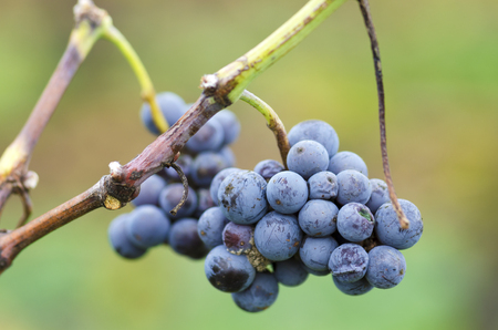merlot: Merlot cluster with rotten grapes on a vine. Selective focus