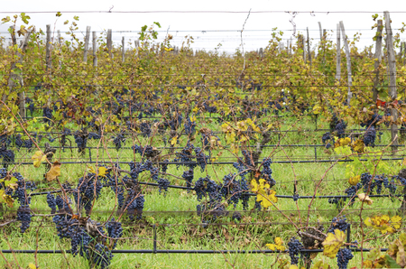clusters: Merlot clusters on a vine rows in a cloudy day