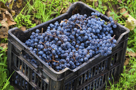 merlot: Dirty crate full with Merlot clusters in a vineyard during the vine harvest in Bulgaria