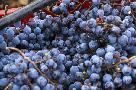 merlot: Ripe and rotten Merlot clusters in a crate during the vine harvest in Bulgaria Stock Photo
