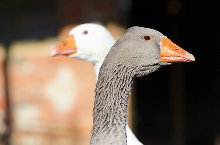goose head: Grey and white goose in a countryside farm Stock Photo