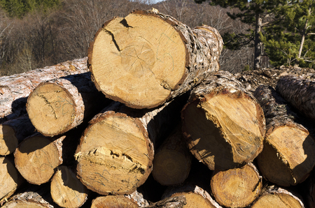 trespasser: Timber of coniferous stack in a mountain